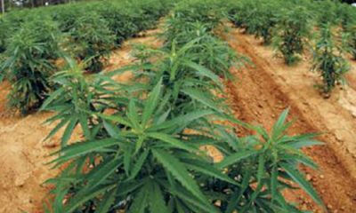 hemp field