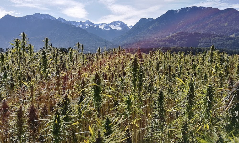 Hemp in the mountains