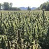 fields of hemp