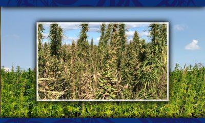 hemp field in kentucky