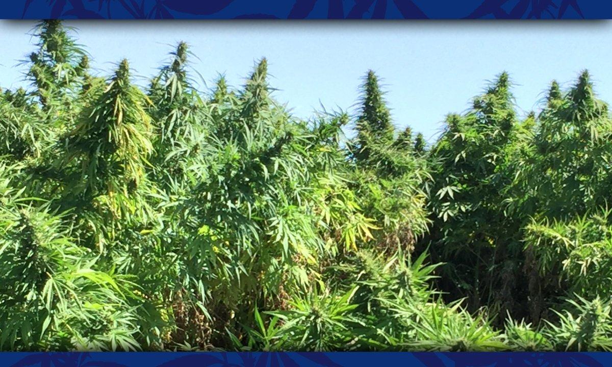 fields of hemp